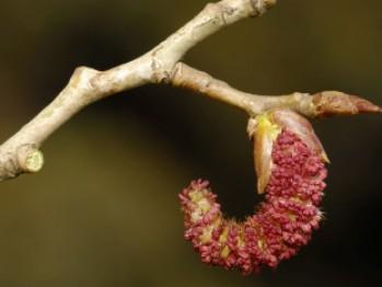 Combate astenia de primăvară cu muguri de plop