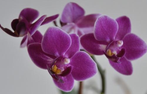 Orhideea infloreste de 2 ori pe an daca e udata ASA