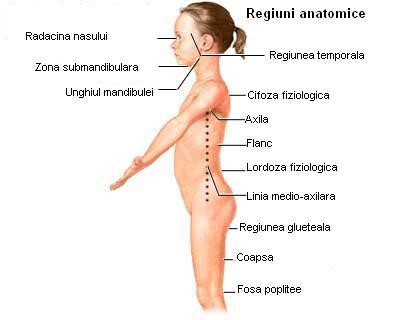 Regiuni anatomice (vedere laterala) - pentru localizarea precisa a durerii