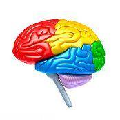 Anatomia creierului - diviziuni