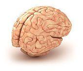 Anatomia creierului - structuri