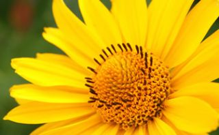 Istorii mici si mari despre Arnica sau istoria unei plante, tratament pentru multi pacienti