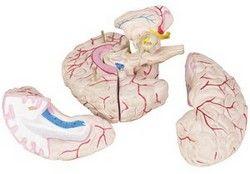 Diviziunile creierului