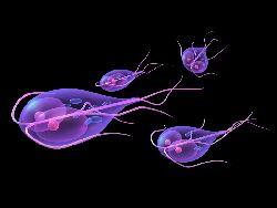 parazita stomacului giardia