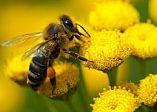 Prim ajutor in intepaturi de albine si viespi