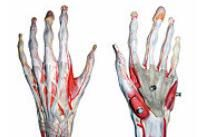 Anatomia mainii