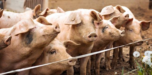 Situatia privind evolutia pestei porcine africane